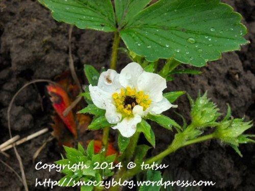 Kwiatuszek truskawkowy.